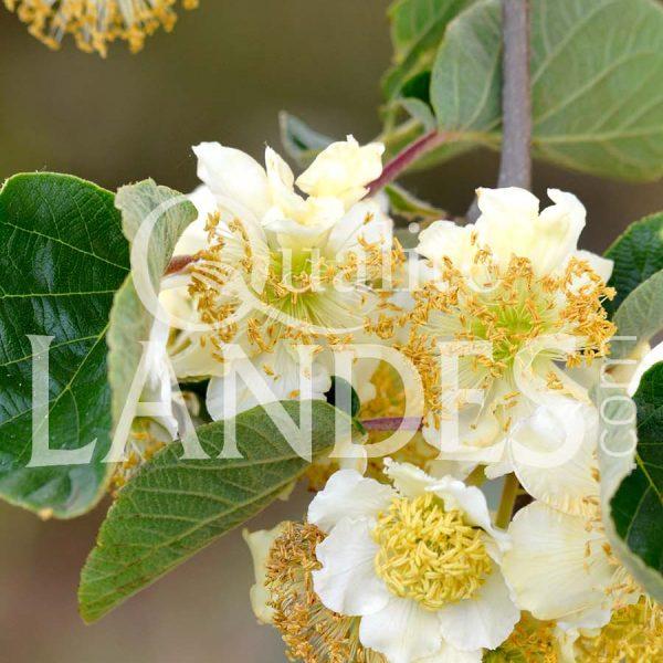 Fleurs de Kiwi de l'Adour IGP - Label Rouge