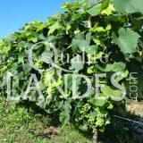 Vignes d'Armagnac AOC
