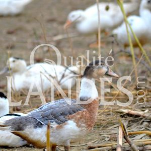 Canards Fermiers des Landes IGP - Label Rouge