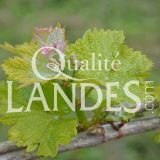 Vignes de Vin de Tursan AOC