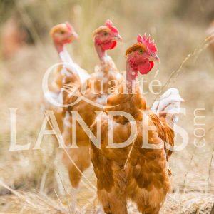 Poulets Fermiers des Landes Blancs IGP - Label Rouge