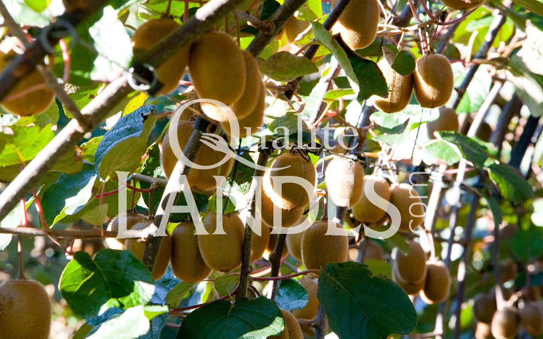 7a062 – kiwi de l'adour – qualité landes
