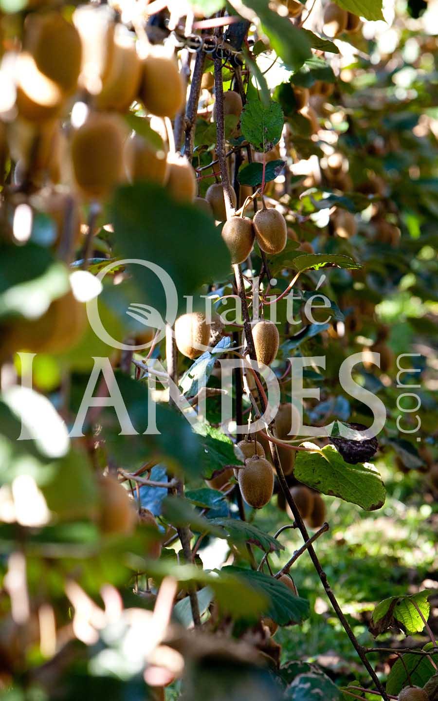 7a064 – kiwi de l'adour – qualité landes
