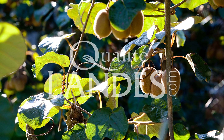 7a065 – kiwi de l'adour – qualité landes