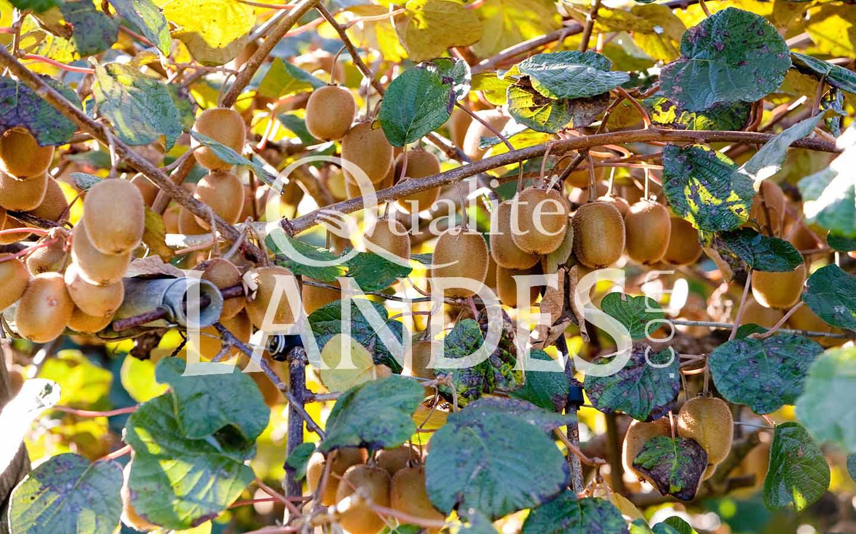 7a068 – kiwi de l'adour – qualité landes