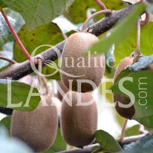 Kiwi de l'Adour IGP - Label Rouge sur arbre