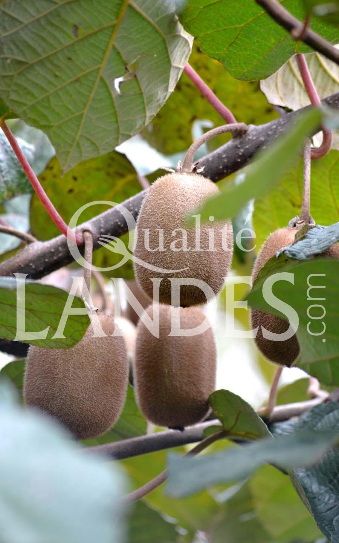 7a078 – kiwi de l'adour – qualité landes