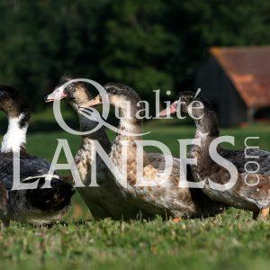 Canards Fermiers des Landes IGP - Label Rouge