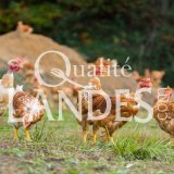 Poulets Fermiers des Landes Jaunes IGP - Label Rouge